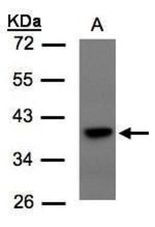 TCF19 Rabbit anti-Human, Polyclonal, Invitrogen 100 µL; Unconjugated