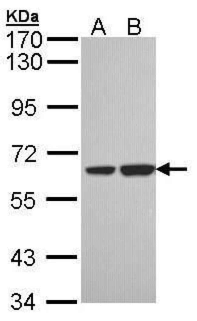 SNX18 Rabbit anti-Human, Polyclonal, Invitrogen 100 µL; Unconjugated