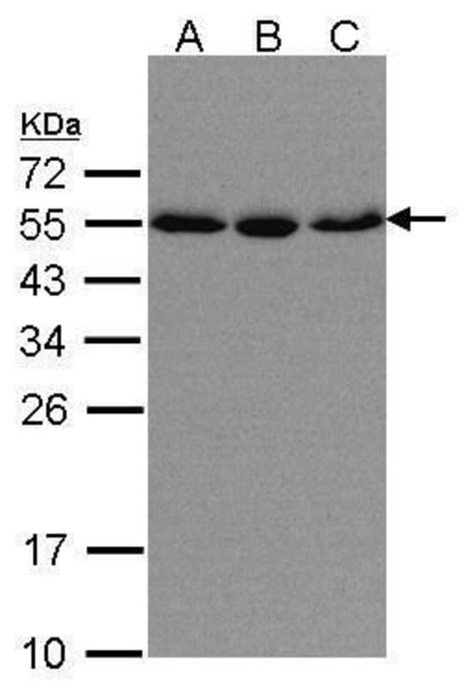 KPNA2 Rabbit anti-Human, Polyclonal, Invitrogen 100 µL; Unconjugated