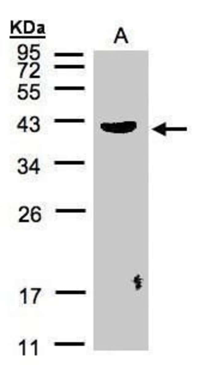 Pleckstrin Rabbit anti-Human, Polyclonal, Invitrogen 100 µL; Unconjugated