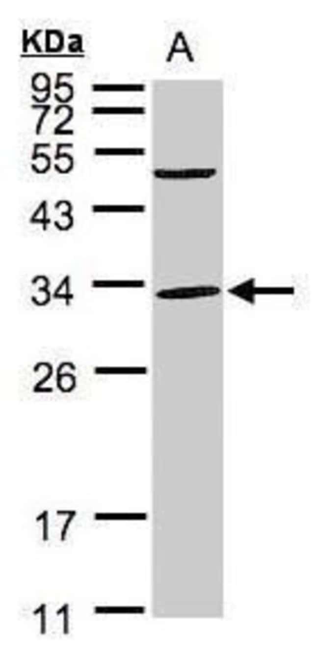 PEF1 Rabbit anti-Human, Polyclonal, Invitrogen 100 µL; Unconjugated