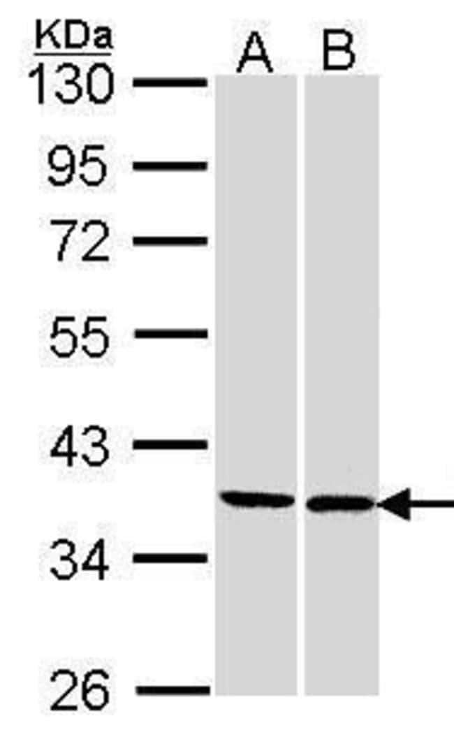 FAM50A Rabbit anti-Human, Polyclonal, Invitrogen 100 µL; Unconjugated