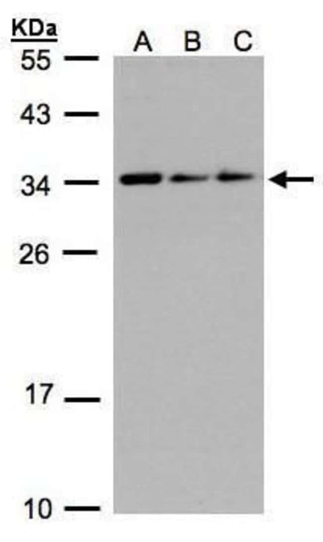 SARNP Rabbit anti-Human, Polyclonal, Invitrogen 100 µL; Unconjugated