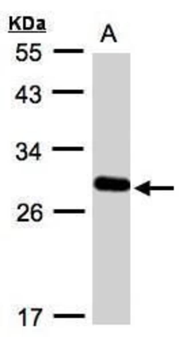 YIPF4 Rabbit anti-Human, Polyclonal, Invitrogen 100 µL; Unconjugated
