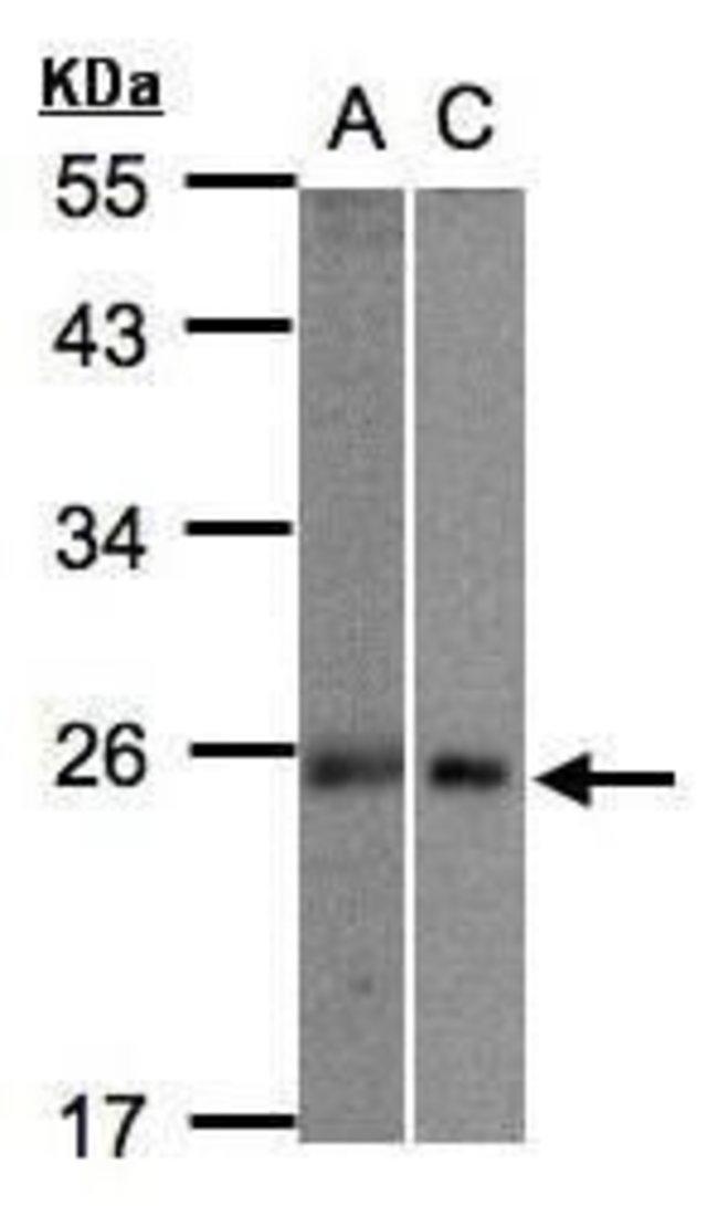 MID1IP1 Rabbit anti-Human, Polyclonal, Invitrogen 100 µL; Unconjugated