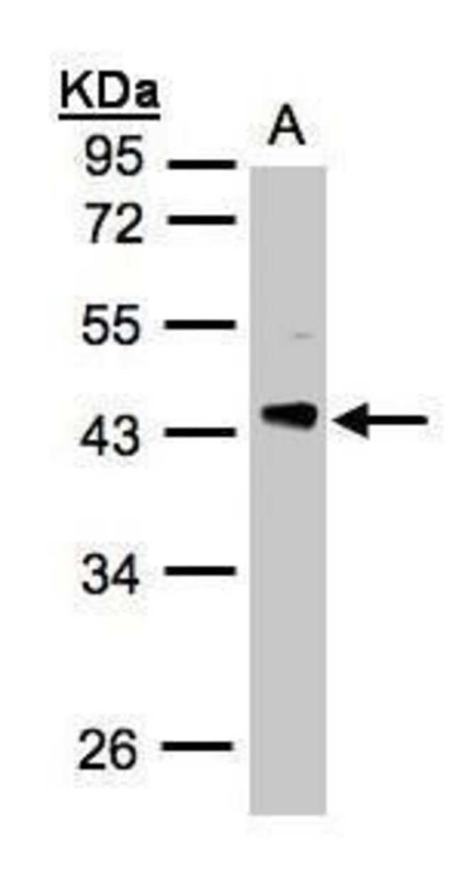 PHLP Rabbit anti-Human, Mouse, Polyclonal, Invitrogen 100 µL; Unconjugated