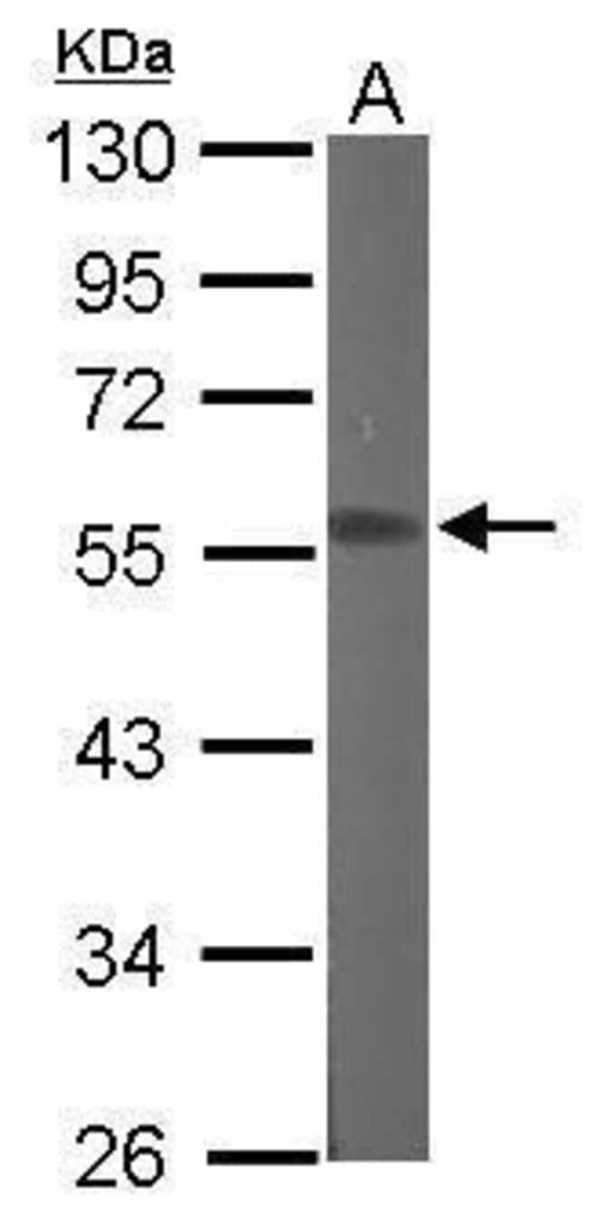 RGMB Rabbit anti-Human, Mouse, Polyclonal, Invitrogen 100 µL; Unconjugated