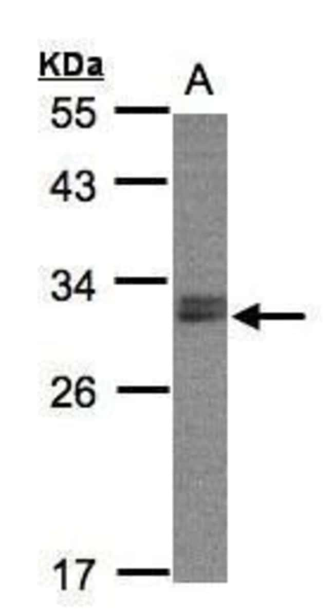 NSMCE1 Rabbit anti-Human, Polyclonal, Invitrogen 100 µL; Unconjugated