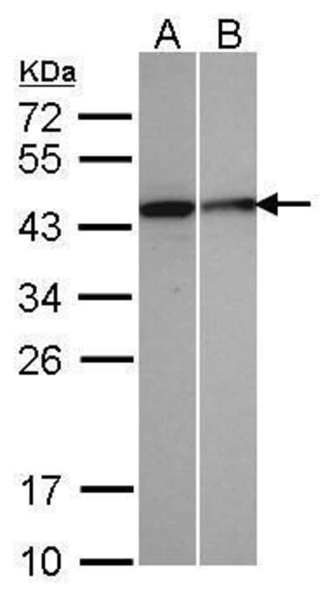 SEPHS1 Rabbit anti-Human, Polyclonal, Invitrogen 100 µL; Unconjugated