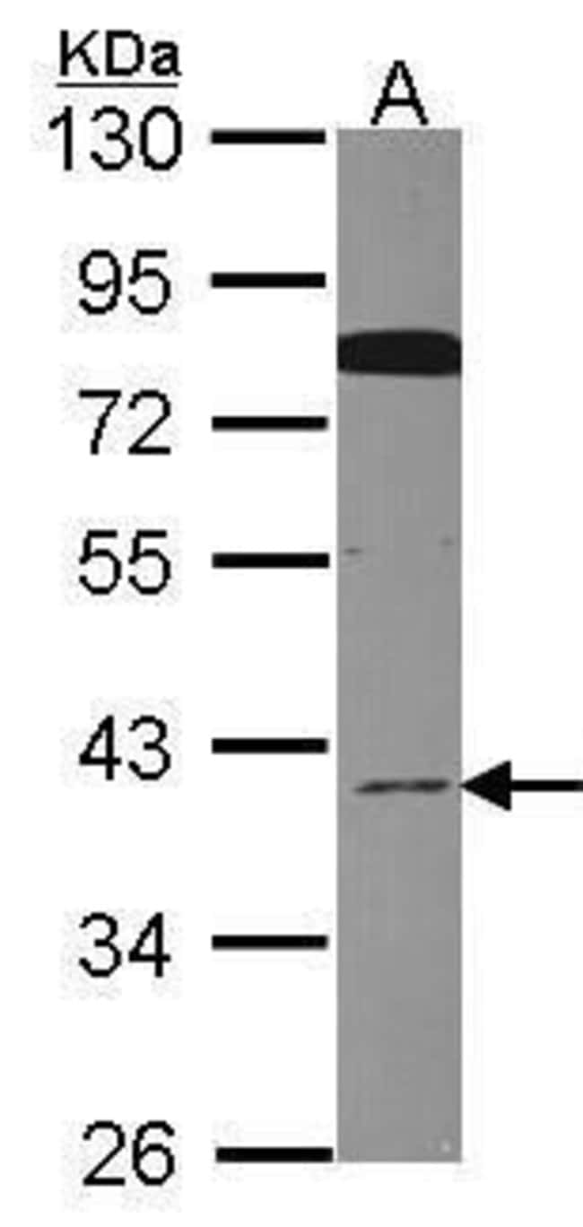 Cdc37L1 Rabbit anti-Human, Polyclonal, Invitrogen 100 µL; Unconjugated