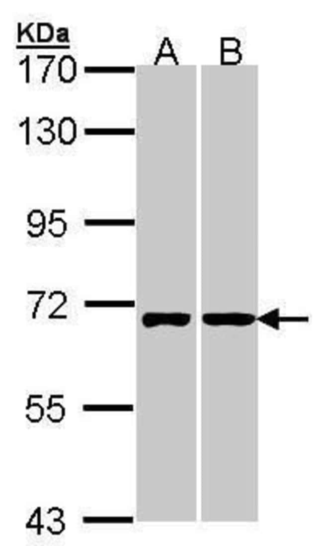 RIC8A Rabbit anti-Human, Polyclonal, Invitrogen 100 µL; Unconjugated