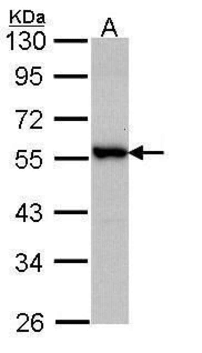 DOK3 Rabbit anti-Human, Polyclonal, Invitrogen 100 µL; Unconjugated