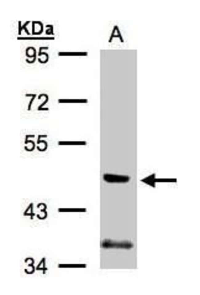 PI3K p55 gamma Rabbit anti-Human, Rat, Polyclonal, Invitrogen 100 µL;