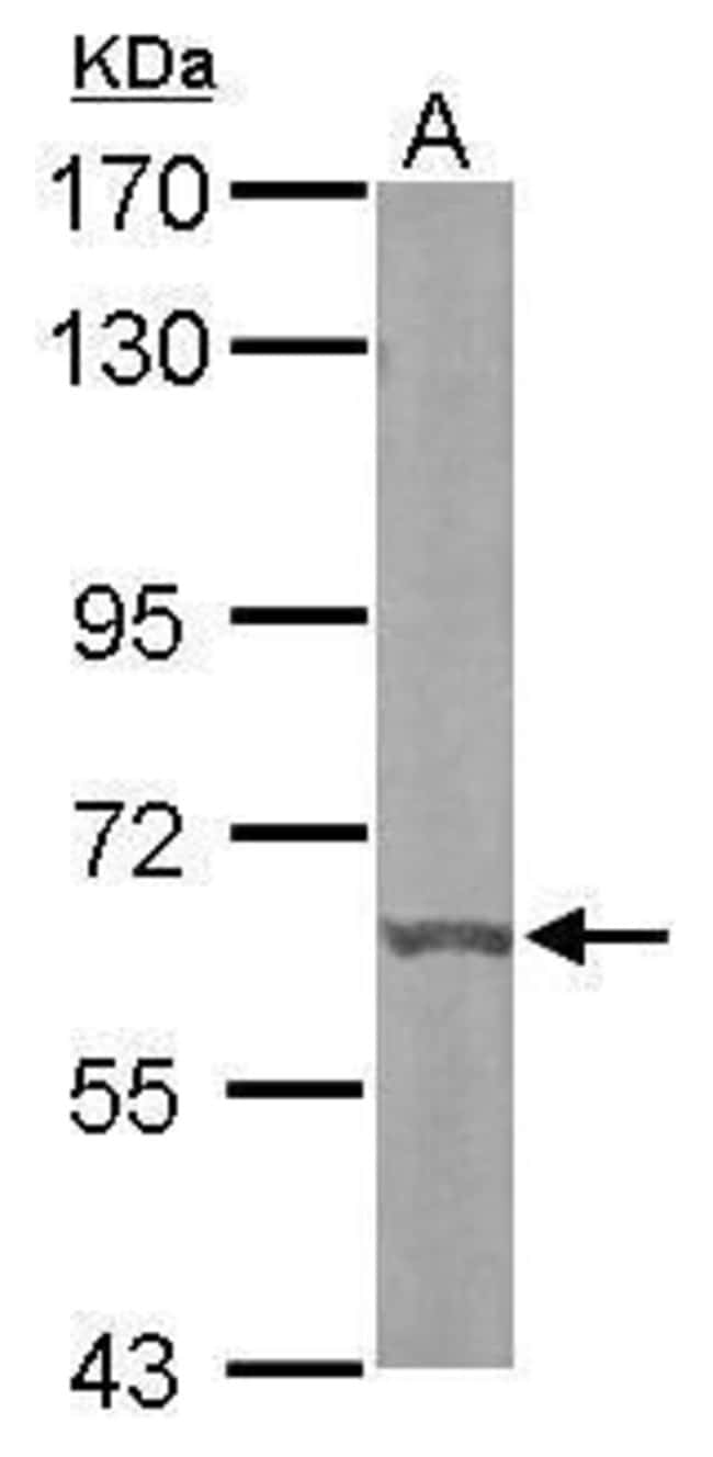 DYRK3 Rabbit anti-Human, Mouse, Polyclonal, Invitrogen 100 µL; Unconjugated