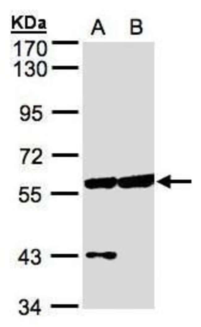 CPNE3 Rabbit anti-Human, Mouse, Polyclonal, Invitrogen 100 µL; Unconjugated