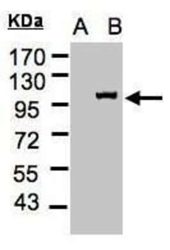 Importin 13 Rabbit anti-Human, Polyclonal, Invitrogen 100 µL; Unconjugated