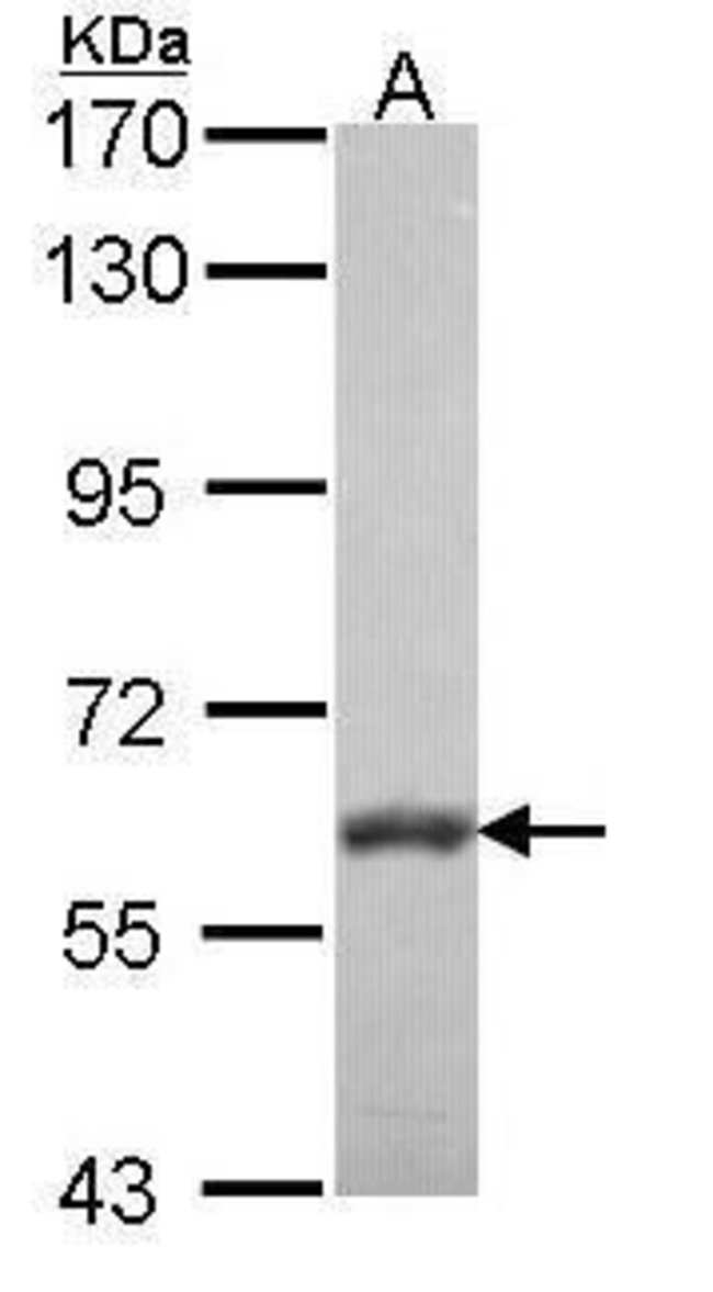 VAM1 Rabbit anti-Human, Mouse, Rat, Polyclonal, Invitrogen 100 µL;