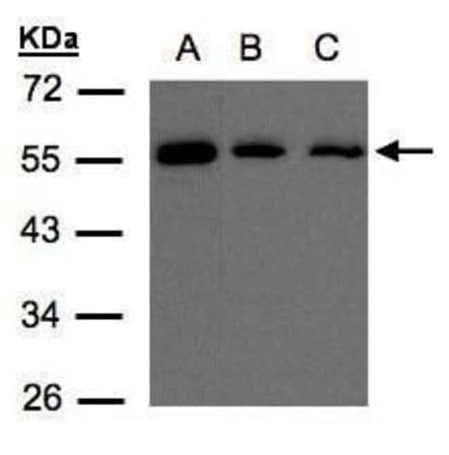 ORP2 Rabbit anti-Human, Polyclonal, Invitrogen 100 µL; Unconjugated