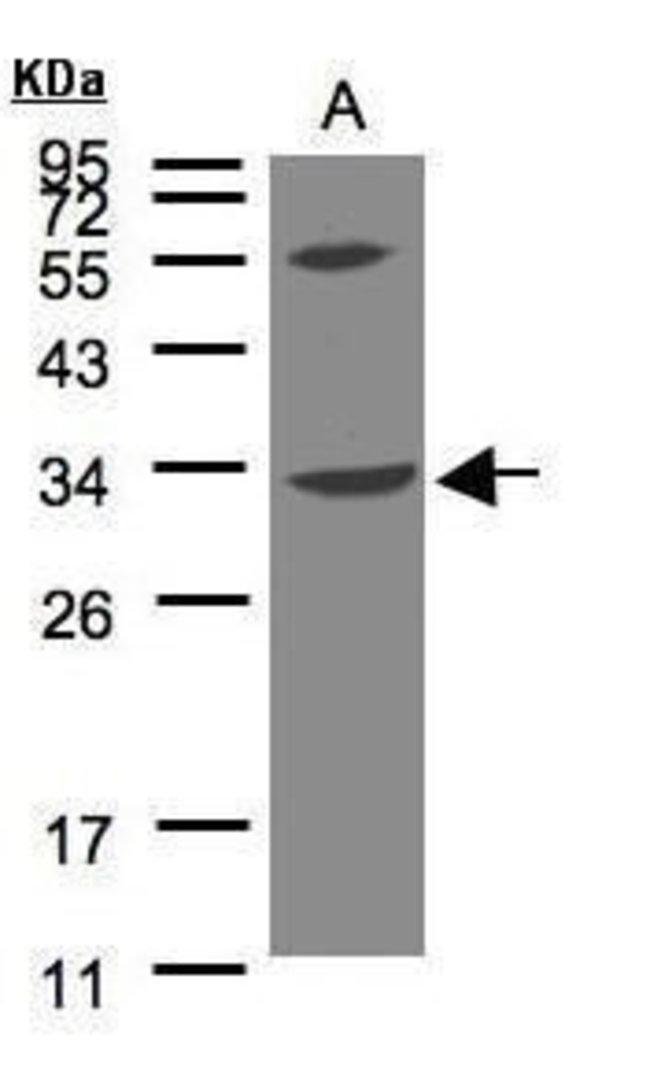 VPS37C Rabbit anti-Human, Polyclonal, Invitrogen 100 µL; Unconjugated