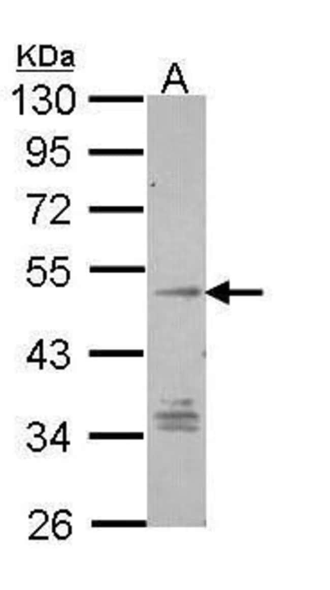 GPR137B Rabbit anti-Human, Polyclonal, Invitrogen 100 µL; Unconjugated