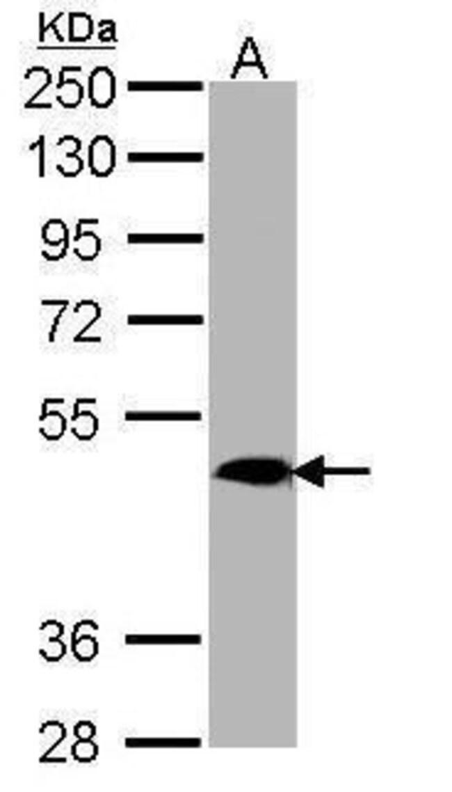 MRGPRX4 Rabbit anti-Human, Polyclonal, Invitrogen 100 µL; Unconjugated