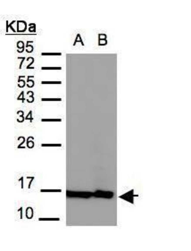 Histone H2A.Z Rabbit anti-Human, Polyclonal, Invitrogen 100 µL; Unconjugated