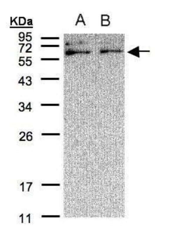XYLB Rabbit anti-Human, Polyclonal, Invitrogen 100 µL; Unconjugated