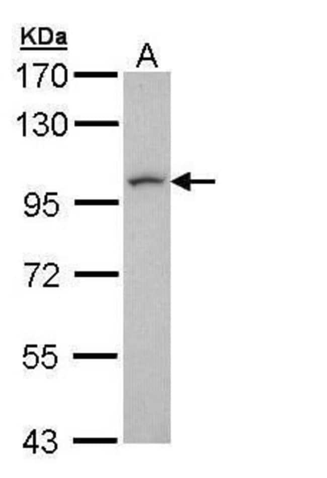 LUZP1 Rabbit anti-Human, Polyclonal, Invitrogen 100 µL; Unconjugated