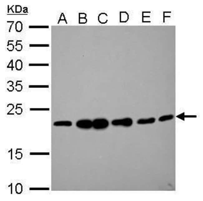 RAMP2 Rabbit anti-Human, Polyclonal, Invitrogen 100 µL; Unconjugated