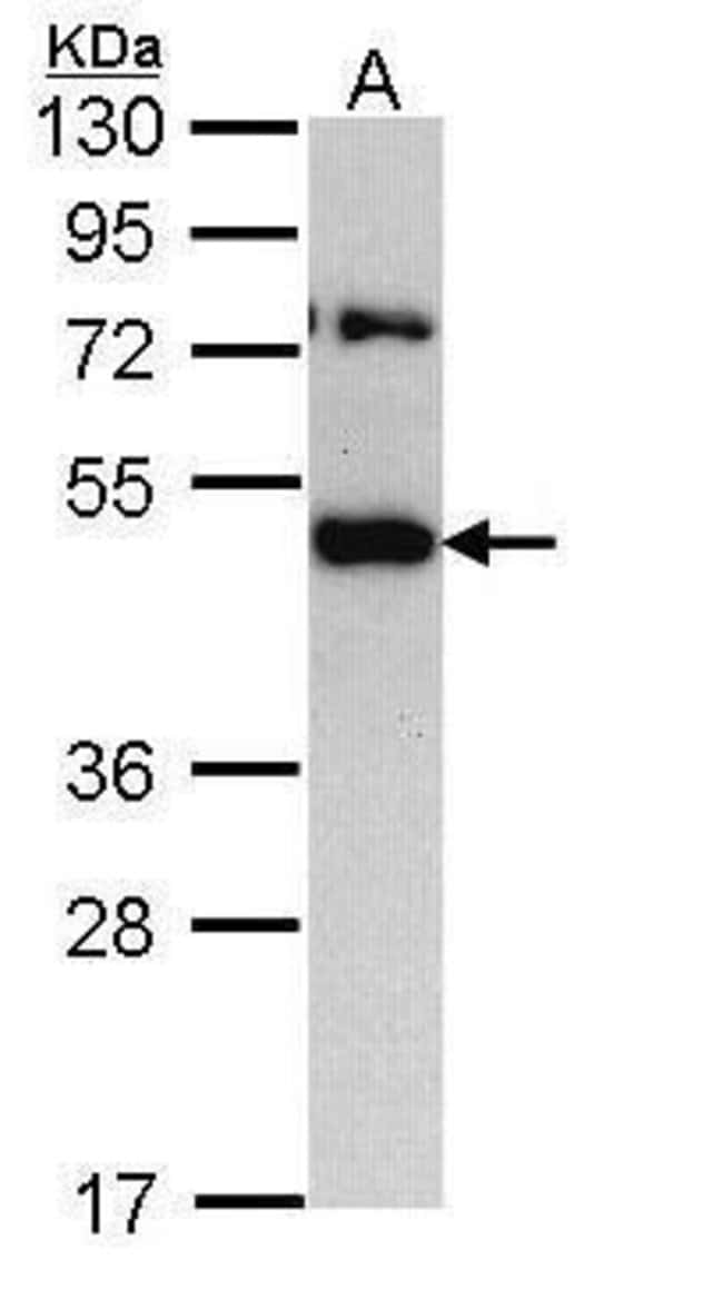 TRAM1 Rabbit anti-Human, Polyclonal, Invitrogen 100 µL; Unconjugated