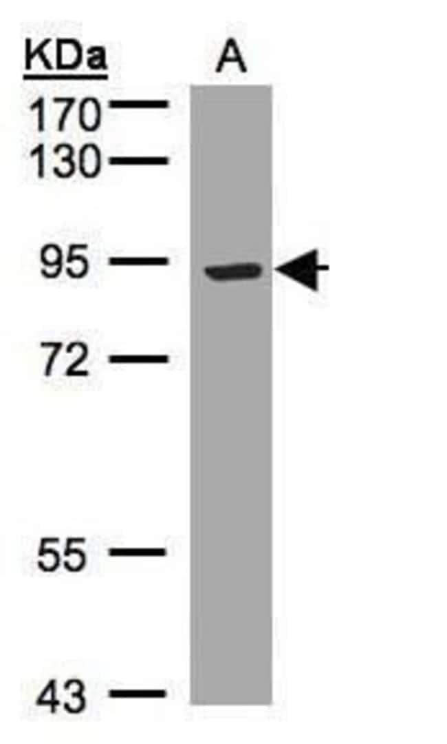 LRP12 Isoform A Precursor Rabbit anti-Human, Polyclonal, Invitrogen 100