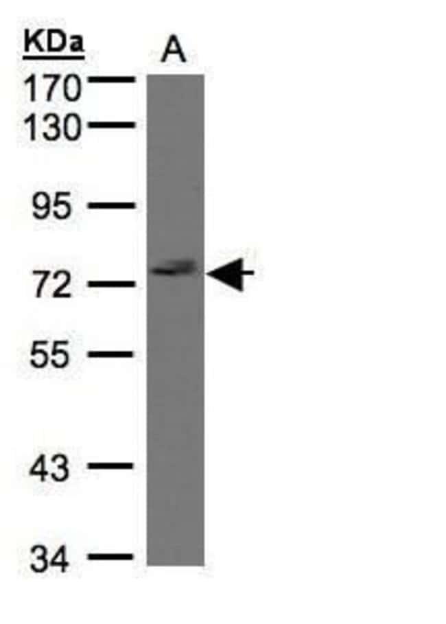 GIMAP8 Rabbit anti-Human, Polyclonal, Invitrogen 100 µL; Unconjugated