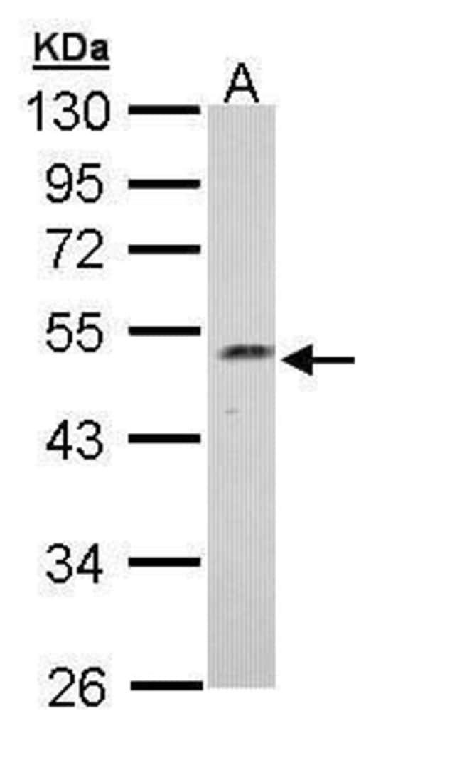 Njmu-R1 Rabbit anti-Human, Polyclonal, Invitrogen 100 µL; Unconjugated