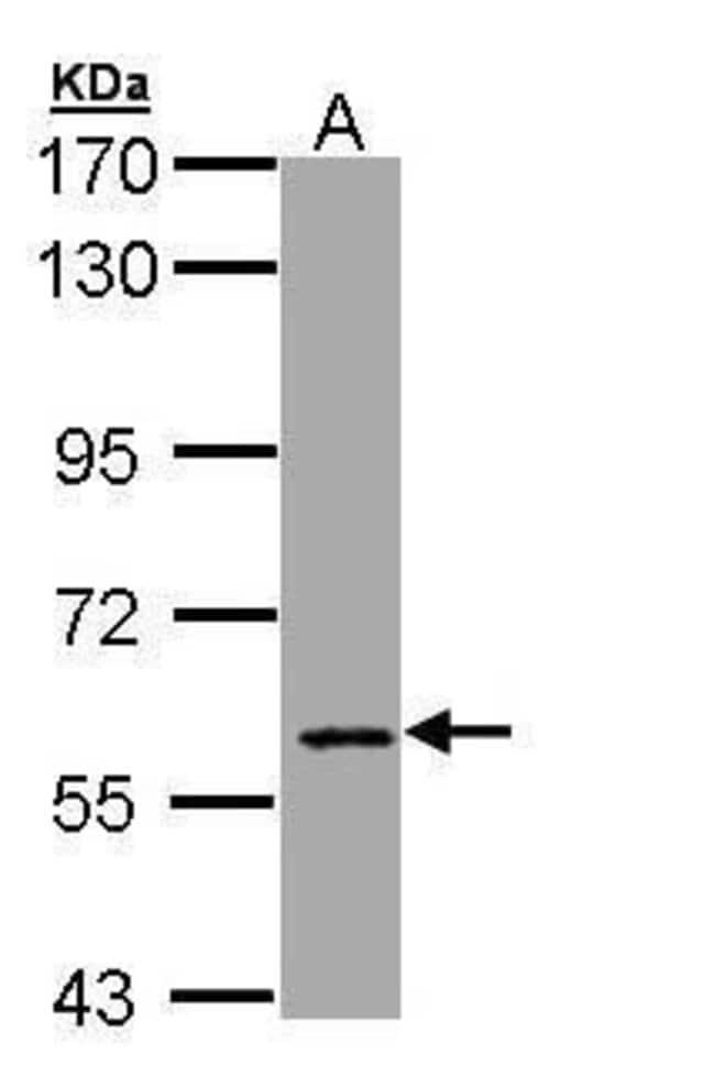 MTGR1 Rabbit anti-Human, Polyclonal, Invitrogen 100 µL; Unconjugated