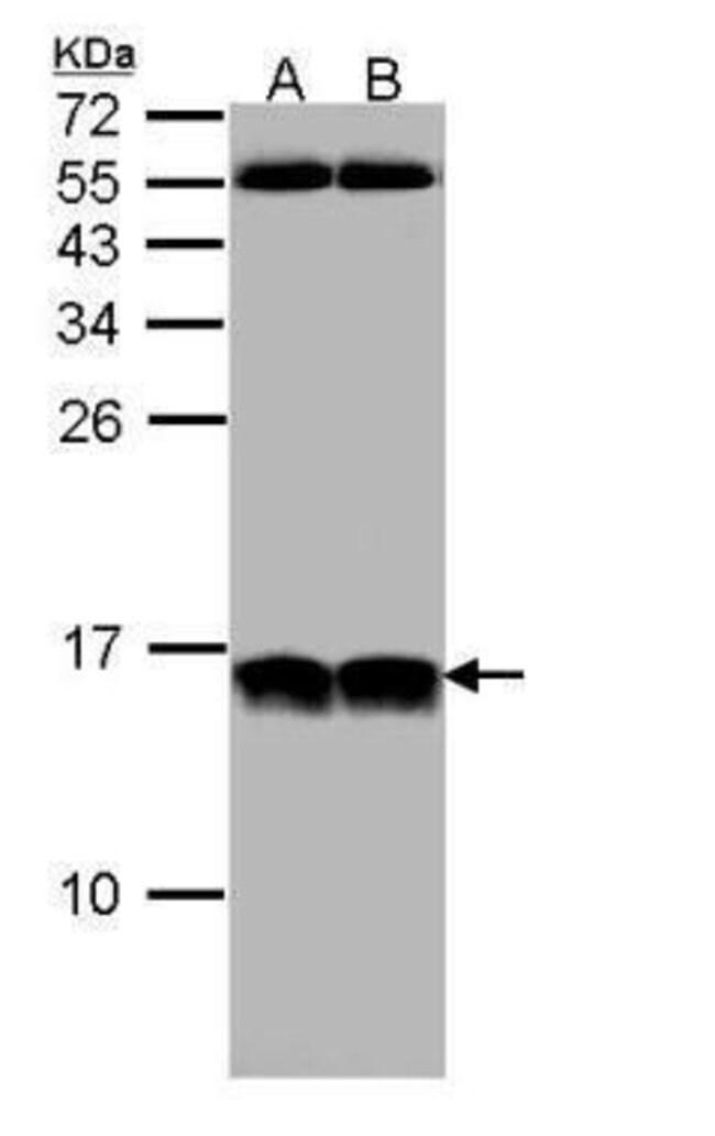 NHP2L1 Rabbit anti-Human, Polyclonal, Invitrogen 100 µL; Unconjugated