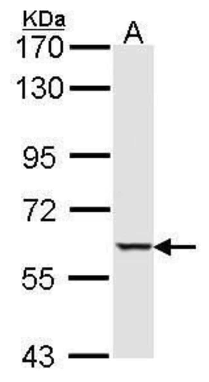 MST1 Rabbit anti-Human, Mouse, Polyclonal, Invitrogen 100 µL; Unconjugated