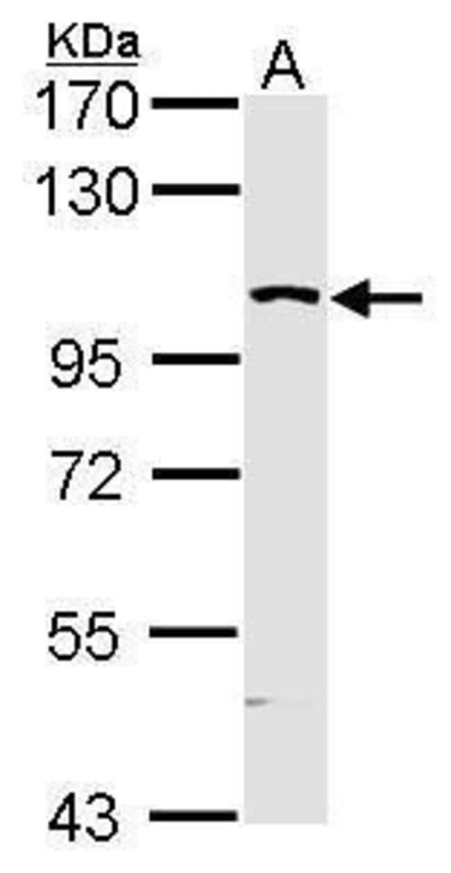MAP4K5 Rabbit anti-Human, Polyclonal, Invitrogen 100 µL; Unconjugated
