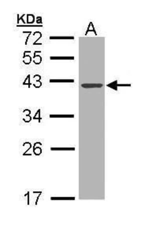 DNase I Rabbit anti-Human, Polyclonal, Invitrogen 100 µL; Unconjugated