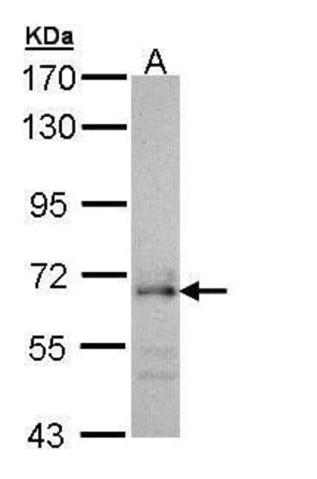 Cdc45L Rabbit anti-Human, Polyclonal, Invitrogen 100 µL; Unconjugated