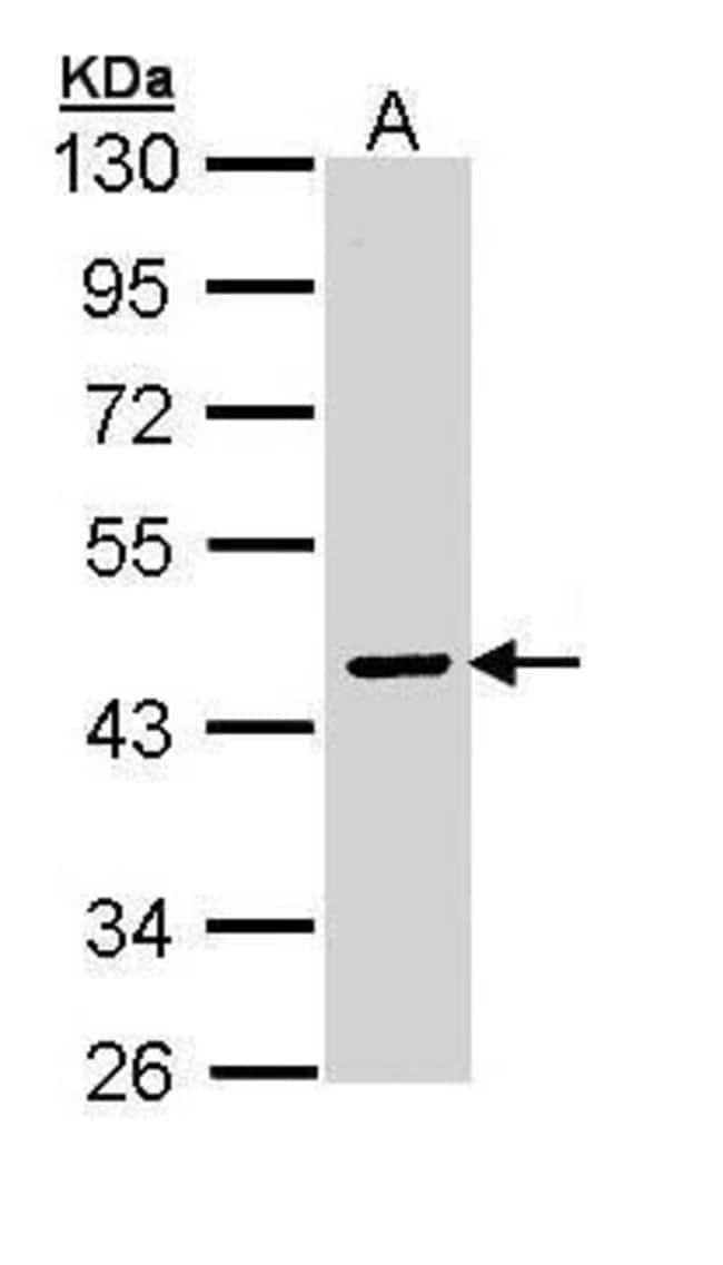 SERPINA10 Rabbit anti-Human, Polyclonal, Invitrogen 100 µL; Unconjugated