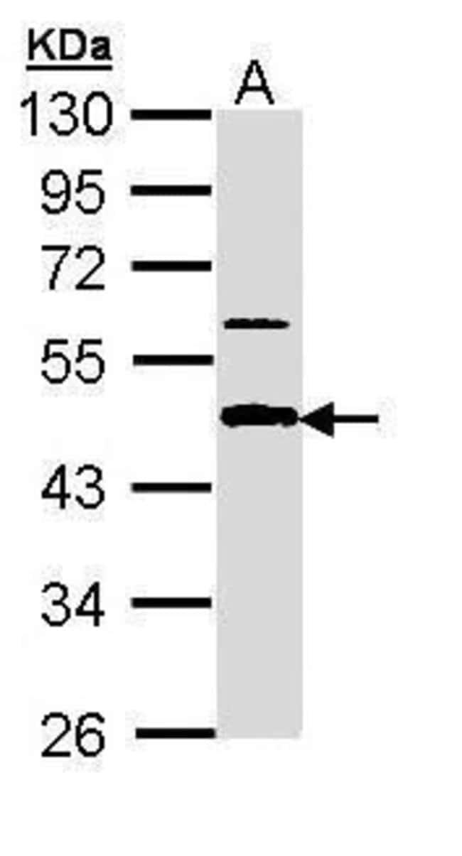 APBB3 Isoform A Rabbit anti-Human, Polyclonal, Invitrogen 100 µL;