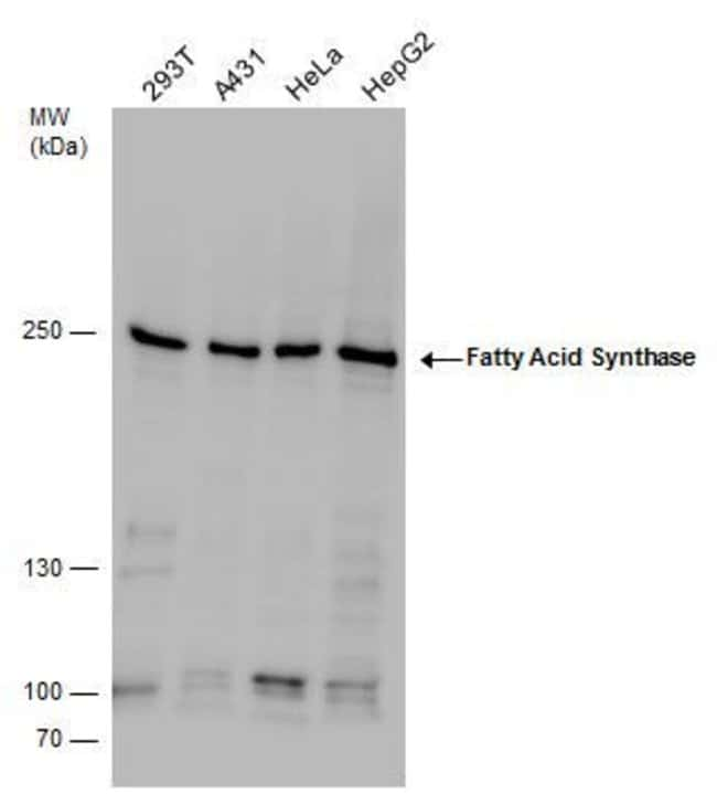 FASN Rabbit anti-Human, Mouse, Polyclonal, Invitrogen 100 µL; Unconjugated
