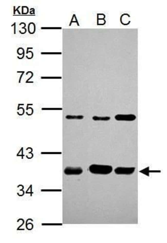 AIP Rabbit anti-Human, Mouse, Polyclonal, Invitrogen 100 µL; Unconjugated