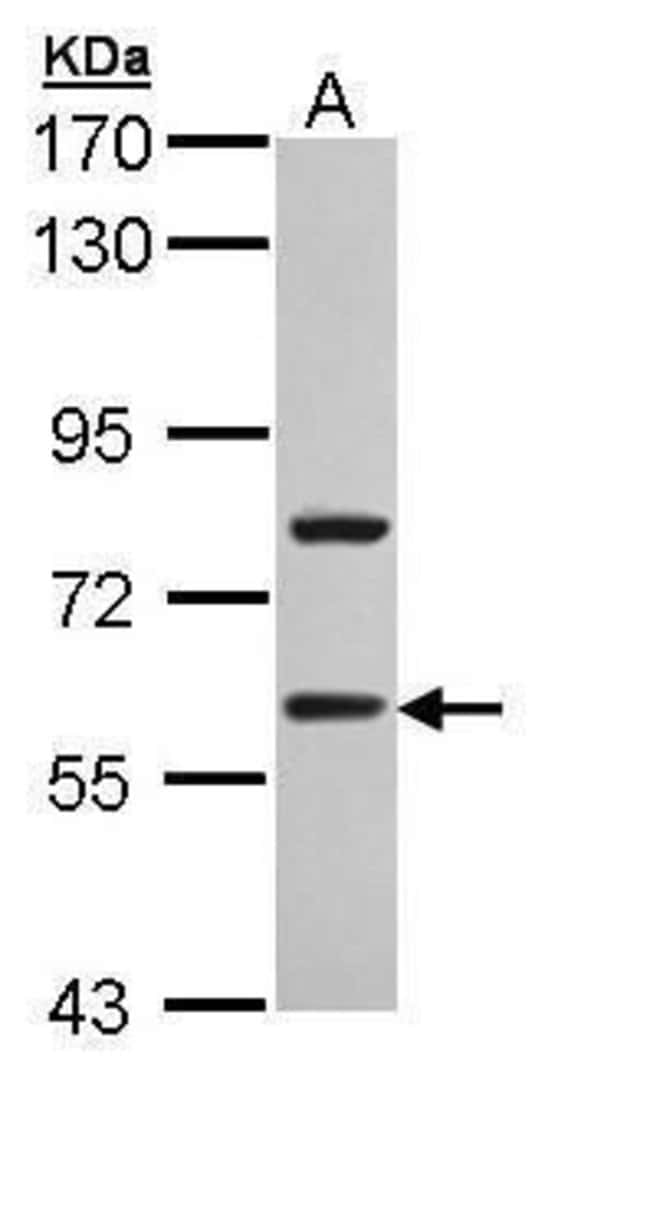 TBLR1 Rabbit anti-Human, Polyclonal, Invitrogen 100 µL; Unconjugated