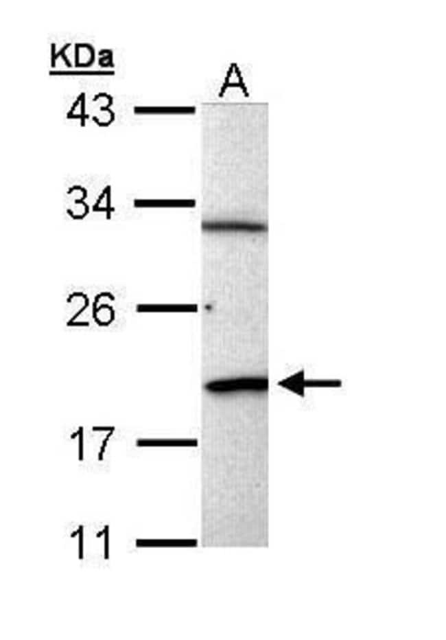 BCL2L15 Rabbit anti-Human, Polyclonal, Invitrogen 100 µL; Unconjugated