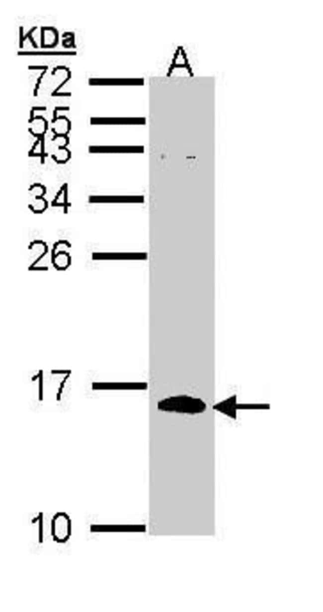 Cdc26 Rabbit anti-Human, Polyclonal, Invitrogen 100 µL; Unconjugated