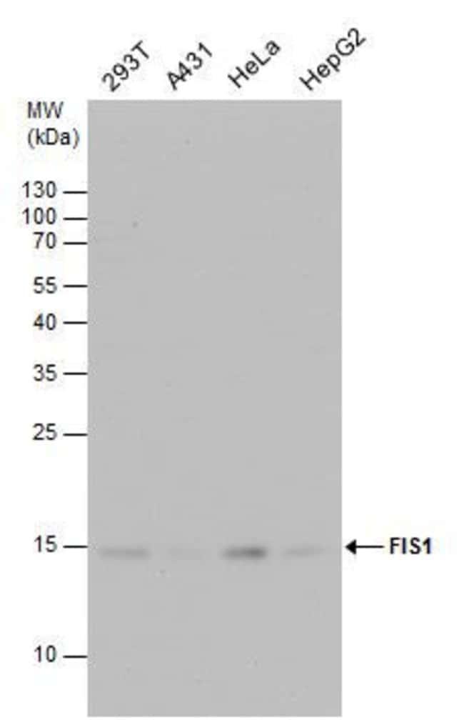 FIS1 Rabbit anti-Human, Mouse, Rat, Polyclonal, Invitrogen 100 µL;