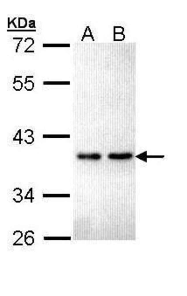 ZNF346 Rabbit anti-Human, Polyclonal, Invitrogen 100 µL; Unconjugated