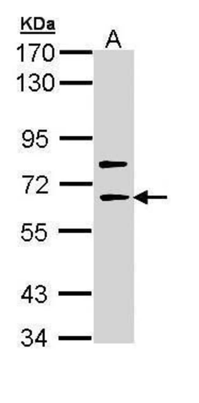 SHC4 Rabbit anti-Human, Polyclonal, Invitrogen 100 µL; Unconjugated