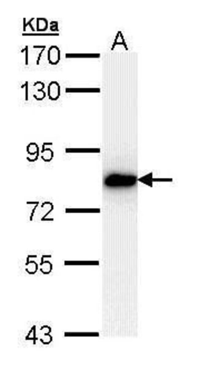 SNRK Rabbit anti-Human, Polyclonal, Invitrogen 100 µL; Unconjugated